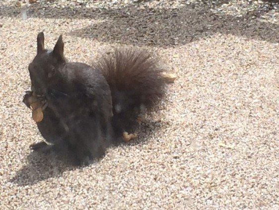 A black Abert's squirrel - my favorite Stillwater critter