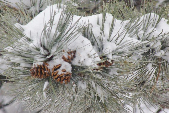 Pine cones in the snow. Maybe this should be next year's Christmas card...