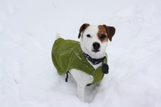 Chloe, wearing her new green canvas coat from Ruffwear. This seemed like a great choice, since it protects her belly from barbed wire. Unfortunately, it also fills up with snow when she tries to run, and slows her down even more. But nothing can stop her from being cute!