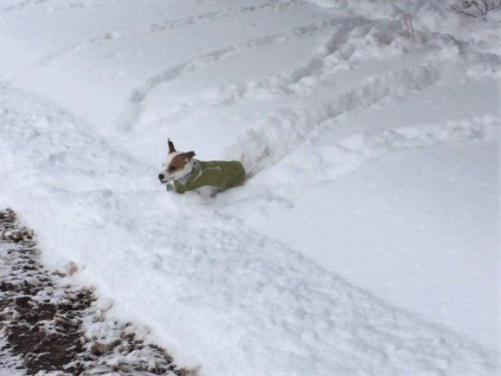"Chloe finally manages to escape the deep snow! It's deeper than she is tall, so she has to ""swim"" to get around."