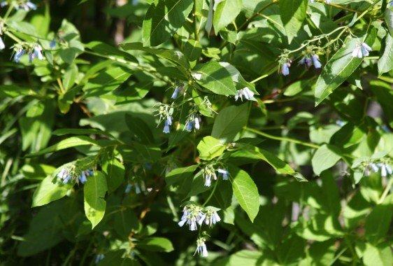 Chiming Bluebells
